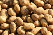 eigene Kartoffeln